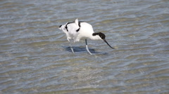 Pied Avocet feeding in shallow water of an estuary in South Africa Stock Footage