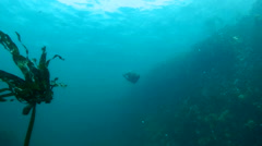 Playful cape fur seals swim underwater and play with divers in False Bay Stock Footage