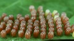 Eggs of the Gulf fritillary, (Agraulis vanillae). Stock Footage