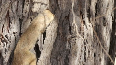 Yellow Mongoose hunting for food in the bark of a camel thorn tree Stock Footage