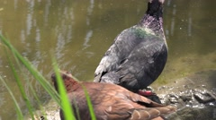 Pigeon and dove sitting on rocks near the water on river Stock Footage