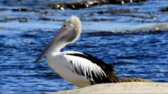 Australian Pelican (Pelecanus conspicillatus) Stock Footage