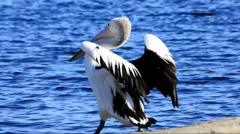 Australian Pelican Stretching Wings Stock Footage