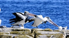 Two Pelicans Yawning Stock Footage