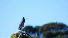 Slow Motion Take Off White-faced Heron Stock Footage