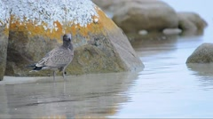 Juvenile Pacific Gull Stock Footage