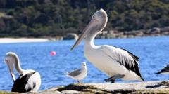 Australian Pelican Waddling Stock Footage