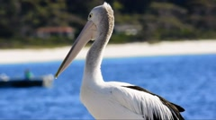 Australian Pelican Looking Toward Camera Stock Footage