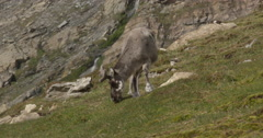 Close on caribou grazing on grass of island hillside - stock footage