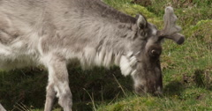 Close side view of caribou in velvet grazing on arctic grasses - stock footage