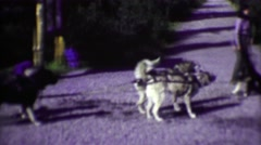 1974: Summer park ranger sled dog demonstration with pack animals. Stock Footage