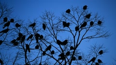 Silhouettes of crows in a tree - stock footage