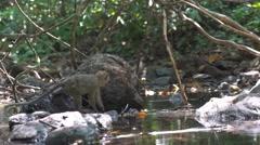 Wild Monkeys On River  Stock Footage