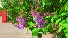 Syringa flowers waving in the wind, spring scene Stock Footage