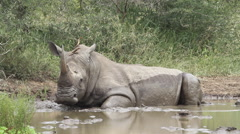 Rhino resting in water with 2 oxpeckers on its body. Stock Footage