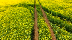 Farmland with blooming Canola - stock footage