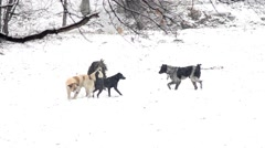 Four stray dogs are playing in the snow sprawling in the park - stock footage