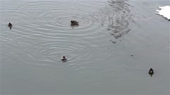 Ducks that swim and search for food on a lake with cold water because winter Stock Footage