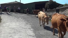 Herd of cows driven by two cowboys followed by a group of pilgrims on a narrow Stock Footage