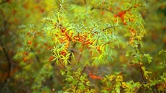 branches of sea-buckthorn - stock footage