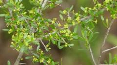 Rhamnus bourgeanus Espinalera Stock Footage