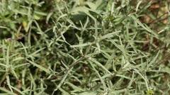 Teucrium is genus of plants in family Lamiaceae. Stock Footage