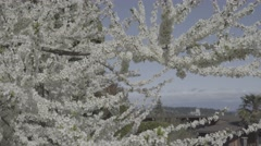 Plum Tree in Full Bloom with Insects Buzzing Around - stock footage