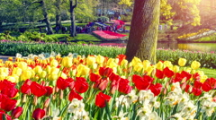 Beautiful spring park covered by daffodils and tulips Stock Footage