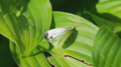 Cabbage butterfly on a green leaf Stock Footage