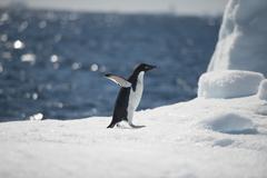 Adelie Penguin on snow Stock Photos