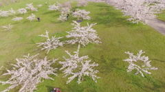 People walking in garden of blossoming sakura trees on sunset, aerial view. - stock footage