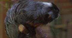 Monkey Sitting on a Branch Looking Down Turns Left Excursion to the Zoo Nature Stock Footage