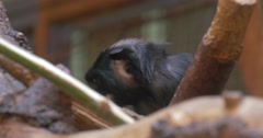 Little Black Monkey Eats Excursion to the Zoo Animal is Holding a Food by the Stock Footage