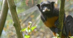 Black Monkey Gets Off the Tree Trunk Looking Curiously Into the Camera Stock Footage