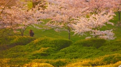 People walking in garden of blossoming sakura trees on sunset. - stock footage