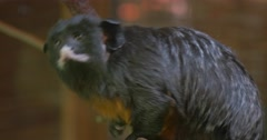 Monkey on Branch Looking to the Left and Right Excursion to the Zoo Nature Stock Footage