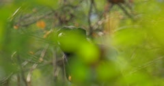 Monkey Looking Out From Tree Sitting Among Green Leaves in the Jungle Excursion Stock Footage