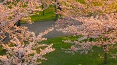 People walking in garden of blossoming sakura trees on sunset. Stock Footage