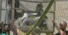 Open Day of Opole Zoo Workers Moved Cage Frightened Monkeys Jump in the Cage Stock Footage