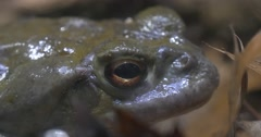 Large Gray Frog This is a Fragment. Stock Footage