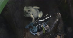 White and Blue Frog in Rainforest Stock Footage