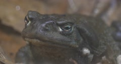 Gray Frog is Croaking Sitting Among the Leaves Large Frog on a Dry Foliage Stock Footage