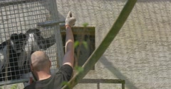 Few Workers Put the Cage With the Monkeys Excursion to the Zoo Nature Wildlife Stock Footage