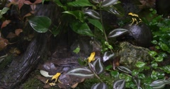 Many Yellow and Black Frog Sitting in the Jungle Stock Footage