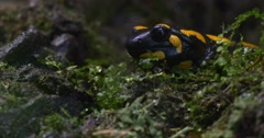 Salamandra Among the Bright Green Plants Stock Footage