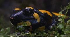 Salamandra Salamandra Among Grass in the Forest Stock Footage