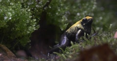 Yellow Frog Among the Lush Grass in the Jungle Stock Footage