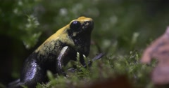 Yellow Frog in a Jungle Thicket on the Moss Stock Footage