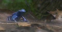 Blue Tree Frog in the Tropics on a Sheet. Stock Footage