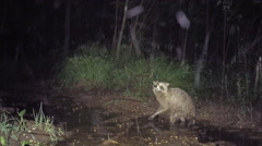 Raccoon hunting during rain Stock Footage